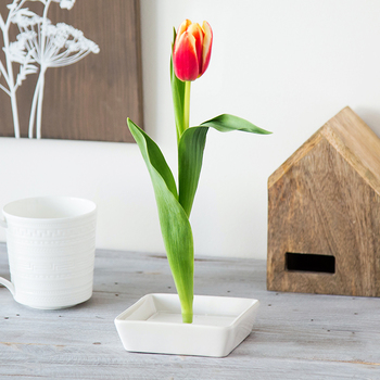 A tulip appears to bloom straight up from a small ceramic dish.